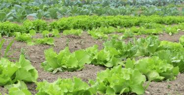 Comment empêcher les limaces de manger la salade