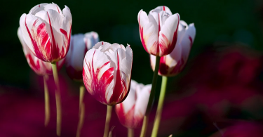 Comment planter des tulipes en pot