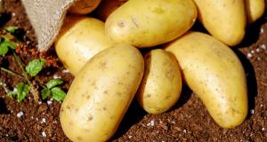 Comment savoir quand les pommes de terre sont prêtes à être récoltées